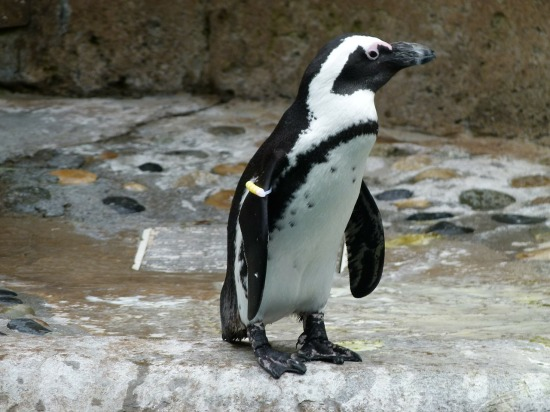 african-penguin-221556_1280