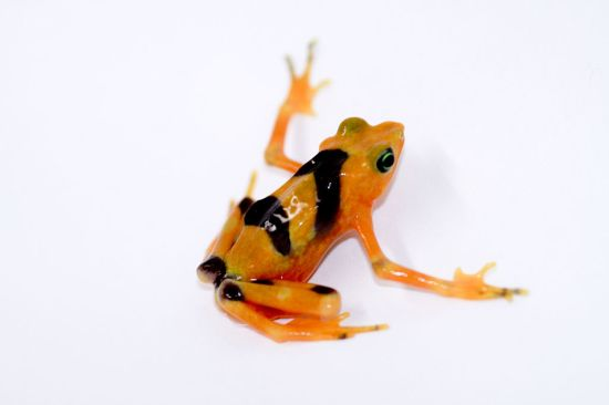 Panamanian_Golden_Frog_lightbox_2