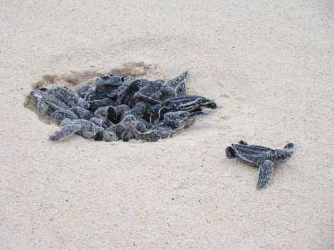 Leatherback_Turtle_eggs_hatching_at_Eagle_Beach,_Aruba