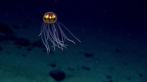 NOAA jelly mariana