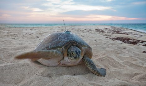sea turtle tracker