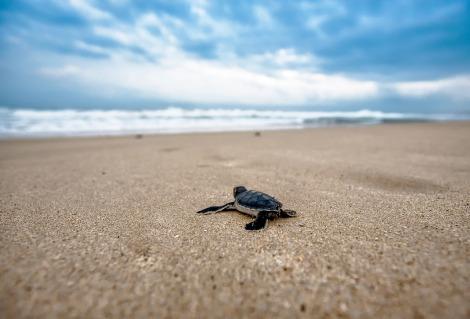 turtle-hatchling